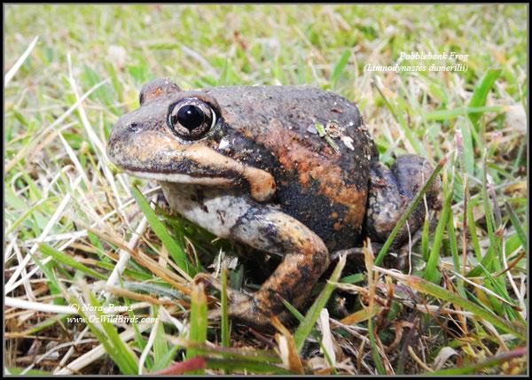 Pobblebonk Frog (Limnodynastes-dumerilii) 31-10-12