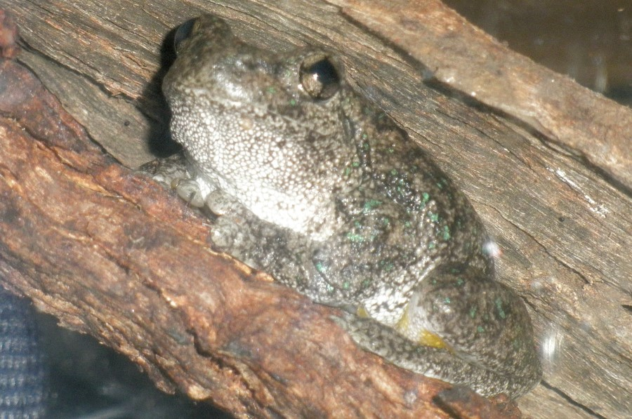 Perons treefrog