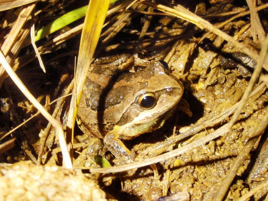 Whistling treefrog