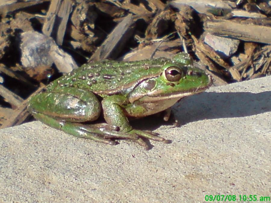 Growling Grass frog Sandra Lilywhite