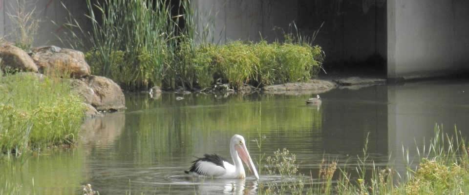 Pelican at Brookfield (24 Jan 2010)